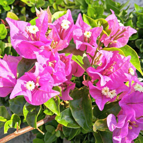 Flowers - Fushchia